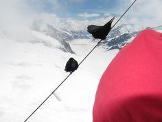 Black birds at Aletsch Glacier #Switzerland