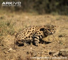 Black-Footed Cat - One of the smallest wild cats in the world. This endangered wild cat lives in South Africa, Botswana, Namibia & marginally in Zimbabwe and Angola Small Wild Cats, Big Cats, Rusty Spotted Cat, Black Footed Cat, Cat Brain, Sand Cat, Cat Species, Leopard Cat, Domestic Cat