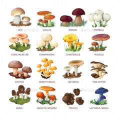 Buy Collection Of Edible Mushrooms And Toadstools by macrovector on GraphicRiver. Colorful forest wild collection of assorted edible mushrooms and toadstools with names in cartoon style isolated vect. Mushroom Art, Mushroom Fungi, Mushroom Hunting, Botanical Drawings, Botanical Illustration, Botanical Prints, Edible Mushrooms, Stuffed Mushrooms, Drawing Tips