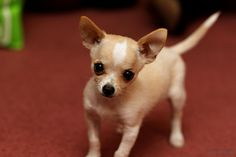 Lovely cute Chihuahua puppy