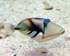 picasso triggerfish - Google Search