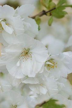 Prunus 'amayadori' by Heather Edwards Photography - mid April