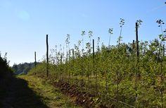 Les nouvelles plantations de pommiers