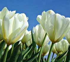 Tulip ronaldo white flower farm flower farm and flowers tulip color by the hundreds white from white flower farm we know white combines well mightylinksfo Gallery