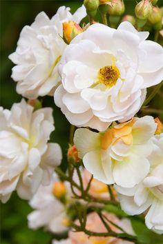 Flower Power, Garden Ideas, Gardening, Rose, Flowers, Plants, Inspiration, Biblical Inspiration, Pink