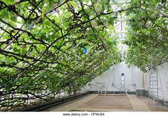 The record breaking grape vine in greenhouse at Hampton Court Palace, England UK. - Stock Image