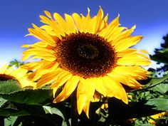 How to Grow Sunflowers | Reader's Digest