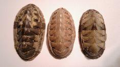 Chiton politus (Spengler, 1797) - Algoa Bay, Eastern Cape