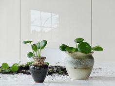 Auf der Mammilade|n-Seite des Lebens | Personal Lifestyle Blog | Pilea Peperomioides | Ufopflanze | Bauchnabelpflanze | Kanonierpflanze | Pflanzen Styling | Tipps Pflege und Vermehrung | Pflegetipps | Ableger | Setzling