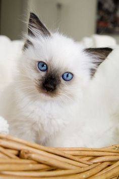 Looks just like my Ragdoll when she was a kitten.Ragdoll Persian Are Beautiful❤⭐❤ Kittens And Puppies, Cute Cats And Kittens, I Love Cats, Crazy Cats, Kittens Cutest, Fluffy Kittens, Fluffy Cat, Pretty Cats, Beautiful Cats