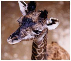 Visit Cleveland Metroparks Zoo for a day of wildlife, learning & fun! Find out why Cleveland Metroparks Zoo is one of the top things to do in Cleveland. Masai Giraffe, Giraffes, Cleveland Zoo, Cleveland Metroparks, Ohio, Wildlife, Creatures, Action News, Animals