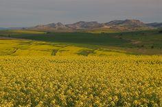 Canola - Swartland South Africa, Vineyard, Outdoor, Outdoors, Vineyard Vines, Outdoor Games, Outdoor Living