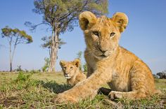 Matt and Will dressed two Canon DSLRs in armor and wheels and rolled them right up to these wild lions in Kenya!