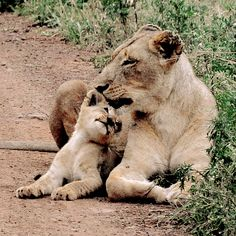 Your $20 becomes $40 when you donate to help buy lights to save wild lions http://www.nikela.org/projects/help-protect-lions-from-extinction/ #lion #LuvWildlife