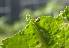 Handling a Scourge of Cucumber Beetles: they are attacking my zucchini. My blog has some tips for hand-picking.