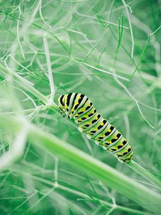 Fennel is a favorite for swallowtail butterflies. Blogger Linda of Garden Betty shares stunning photos of the caterpillar's life cycle and tells why she plants extra fennel in her California garden. || @gardenbetty