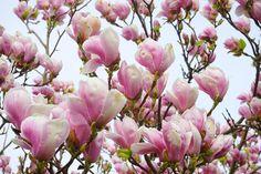 magnolia-324217_1280.jpg (1280×853)