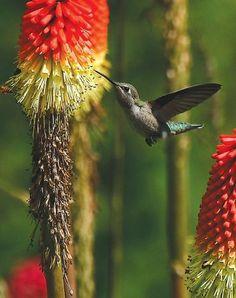 A hummingbird seeks nectar (AP Photo/The News-Review, Michael Sullivan)