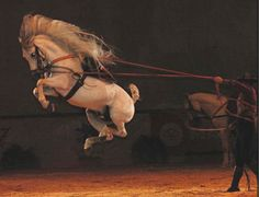 Ballotade; a forward leap performed by a horse trained in manège in which fore and hind legs are gathered under the body and the hind hoofs are turned outward so that the shoes are visible
