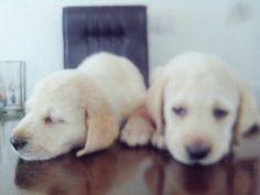Ke$ha of Ryder Kennel along with her sister.   #RyderKennel #Rydeweiler #Labrador #puppy
