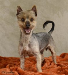 Winchester's joy for life is so admirable and inspiring!  He is a Yorkshire Terrier, young at heart at 8 years of age, a neutered boy, ready for adoption at Nevada SPCA (www.nevadaspca.org).  Winchester gets along beautifully with other dogs and needs regular professional grooming.  Special thanks to Pet'ographique (www.petographique.com) for capturing his spirit in this new portrait to help him find a loving, forever home.