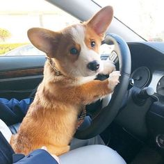 Some Helpful Ideas For Training Your Dog. Loving your dog does not mean you are willing to let him go hog wild on your possessions. That said, your dog doesn't feel the same way. Cute Funny Animals, Cute Baby Animals, Cute Puppies, Dogs And Puppies, Corgi Dog, Baby Corgi, Cute Corgi Puppy, Corgi Funny, Training Your Dog