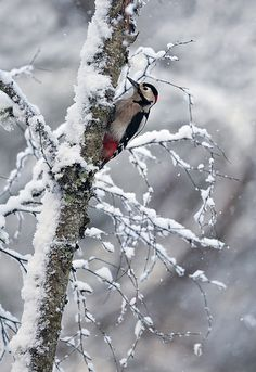 Winter~ Great Spotted Woodpecker on snow covered tree. Pic Épeiche, Hirsch Illustration, Spotted Woodpecker, Snow Covered Trees, I Love Winter, Winter White, Winter Scenery, Winter Magic, Snow Scenes