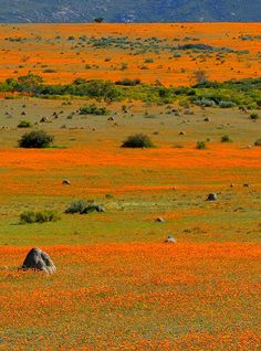 We all walked out of Africa. Wildflowers South Africa, Namaqualand by Vittorio Ricci Places Around The World, Oh The Places You'll Go, Places To Visit, Around The Worlds, Beautiful World, Beautiful Places, Out Of Africa, Africa Travel, Beautiful Landscapes
