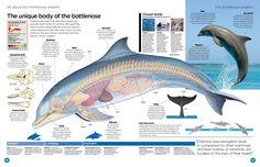 anatomy delphin - Szukaj w Google
