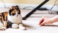 I adopted a calico cat and her two tabby kittens, all females. They occasionally fight, but in the past months, the calico mama has taken to peeing on the carpet for no particular reason. She even looked me right in the eye when she did it.