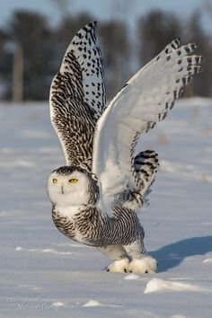 }{   Snowy Owl Launch by Josh Parsons