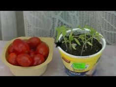 Como germinar tomates cherry - YouTube