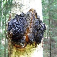 How Chaga Mushroom Can Help You Be Healthy - Natural Health - MOTHER EARTH NEWS