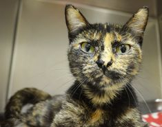"""I QUALIFY FOR THE """"FREE TO A GOOD HOME"""" CAT PROMOTION! Name: Larissa  Age: 1 1/2 years  Breed: DSH - Torti  How I Arrived At NHS: My kittens and I were found as strays and brought to Northwoods to find our forever homes.  Note From An NHS Volunteer: Larissa is beautiful cat. Very soft with big green eyes. She is very alert. She rolled over and extended her paws in appreciation when her stomach, head, or neck was scratched. I had her playing with toys by the end of my time with her."""
