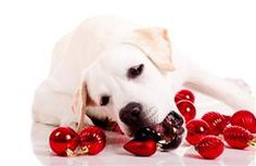 Holidays can be dangerous for pets! Click through to get some pet safety tips!