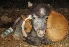 Miniature horse comforted by Bull Terrier after surgery. So sweet!