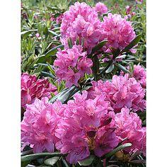Alppiruusu 'Haaga'/Rhododendron. Puolivarjo/VARJO, I-V.