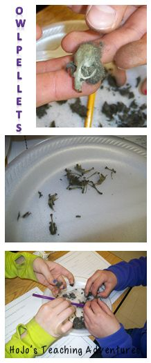 Try owl pellet dissection in the classroom with these tips (includes link to FREE printables!