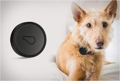 WHISTLE GPS -  syncs automatically with your phone and lets you keep track and monitor your dog´s activity, giving you reports on day-to-day behavior and long-term health trends; has integrated GPS, ensuring you´ll always have a way to find your furry friend. watch the video