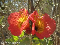 """Fernandoa magnifica. Rare African tree, endangered species. Small, often multi-stemmed tree. Flowers in axillary clusters, spectacular, bright orange-red with a yellow center; corolla bell-shaped, up to 4"""" in diameter, shallowly lobed with 4 large stamens protruding."""