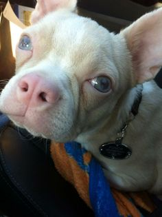 Holly Bigglesworth, a Cornaz Albino Boston Terrier with blue-green eyes.