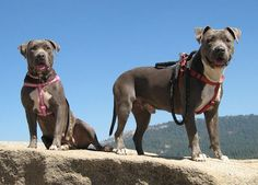 American Pitbull Terriers (blue nose pictured here, ages 5 and 3)