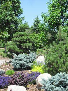 Mixed conifers: evergreens (back garden, along far fence).