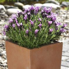 Lavender   Bandera Purple F1