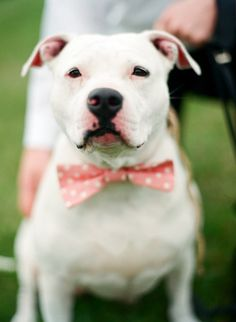 Perfect Bowie for the adorable ring bearer