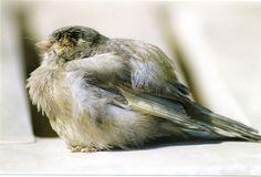Pequeña guia sobre enfermedades de canarios y su tratamiento y cuidados. Cuadro con síntomas, enfermedad y tratamiento de enfermedades de canarios.