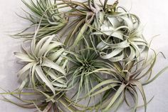Air Plant Care: How To Care For Air Plants, Aeriums and Tillandsia Mounts