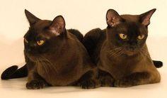 chocolate burmese cats