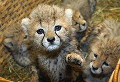 Cheetah cub says ohai