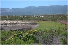 A lone bontebok at a dry Sirkelsvlei Nature Reserve, Great View, Trek, Cape, Coastal, Hiking, Mountains, Mantle, Walks